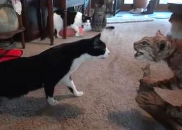 4 chats vs un lynx empaillé