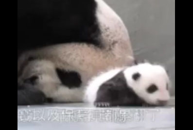 Un bébé panda retrouve sa maman après un mois séparés