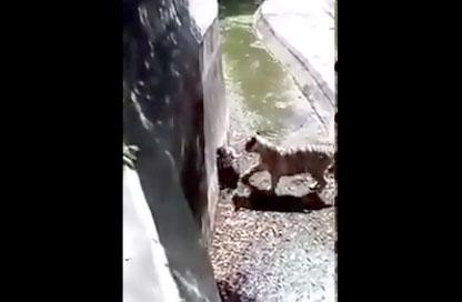 Un homme tombe dans une fosse et se fait attaquer par un tigre
