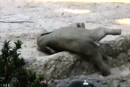 L'entraide des éléphants est magnifique (zoo de Zurich)