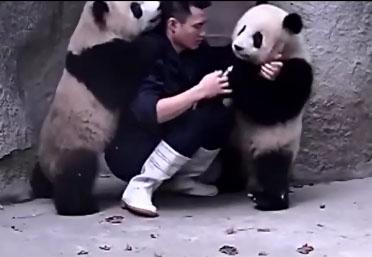 Ces pandas vont mener la vie dure au vétérinaire