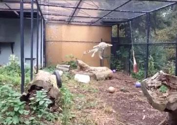 Un léopard fait le saut de l'ange pour attraper sa viande