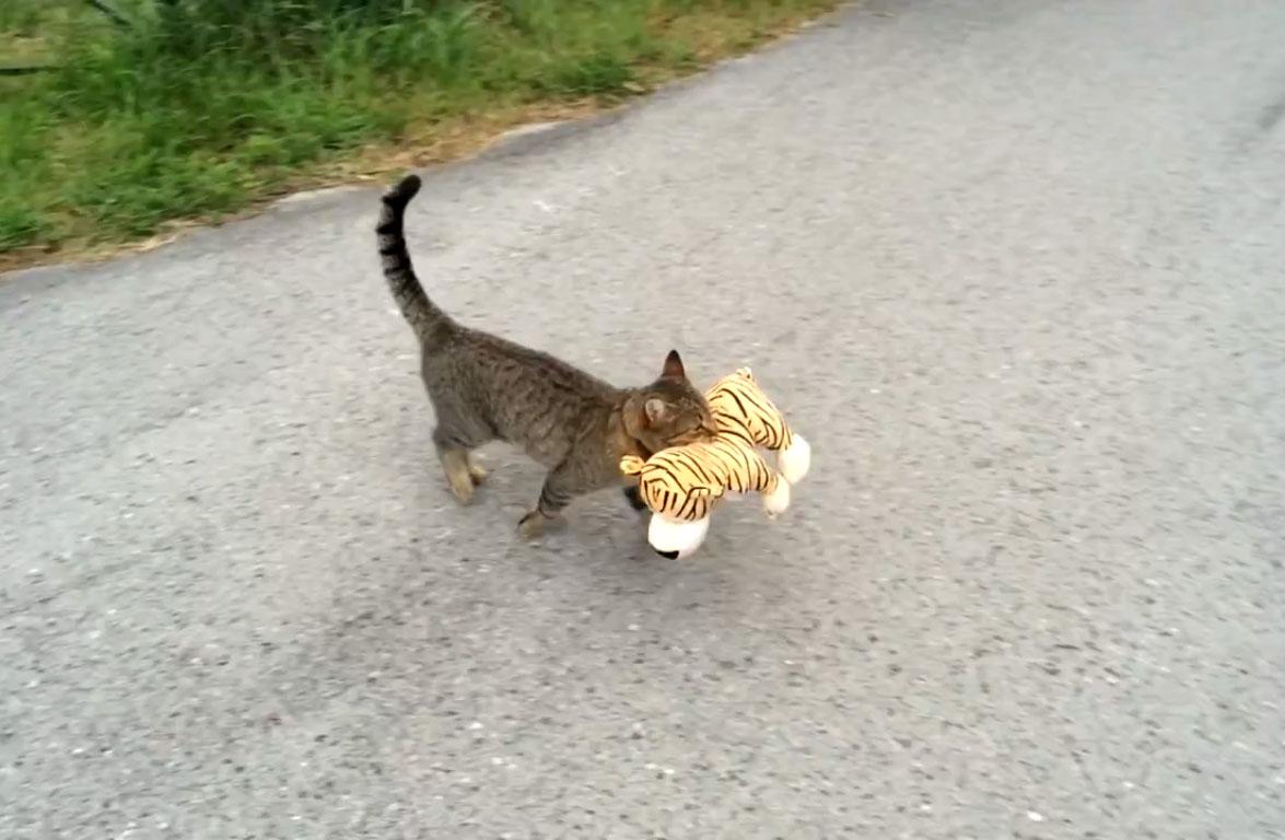 Un chat très fier après avoir chassé un tigre sauvage