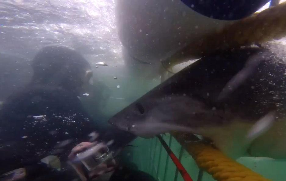 Un requin blanc rentre presque dans une cage d'observation