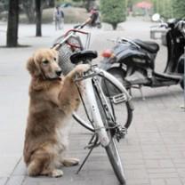 Chien qui garde le vélo de son maître