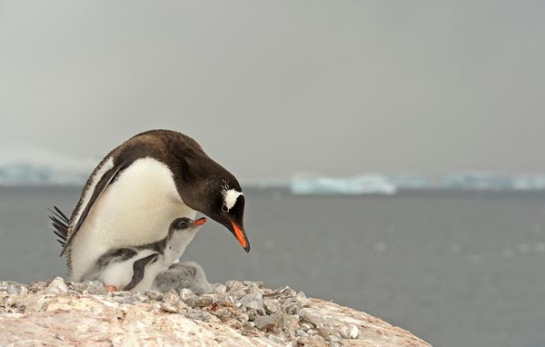 Fail de pinguin, ils font rire aussi ces bêtes