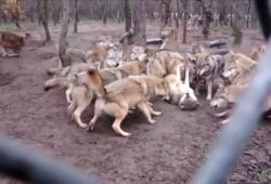 Un loup Omega se fait attaquer par toute sa meute