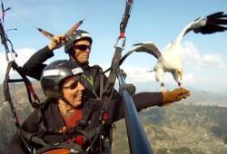 Le Parahawking, parapente avec les faucons