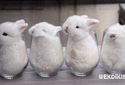 Quatre bébés lapins s'endorment dans des verres