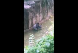 Un enfant tombe dans un enclos à Gorilles