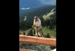 Voici comment crie une marmotte