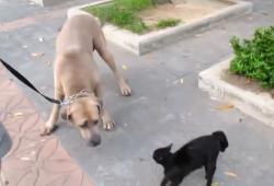 Une chatte vient protéger ses petits d'un gros chien