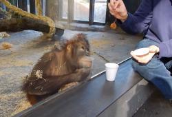 Un orang-outan réagit face à un tour de magie
