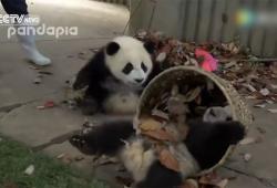 Deux bébés pandas empêchent une employée de travailler