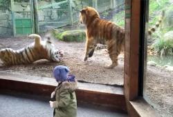 Un tigre réveille en sursaut sa femme qui ne va pas être contente
