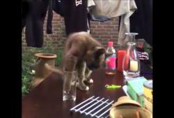 Un chat qui trempait sa patte dans un verre d'eau se fait troller
