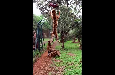 Un tigre saute très haut pour attraper de la viande (slow motion)